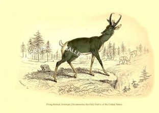 Prong-horned Antelope (Dicranocerus furcifer) Native of the United States